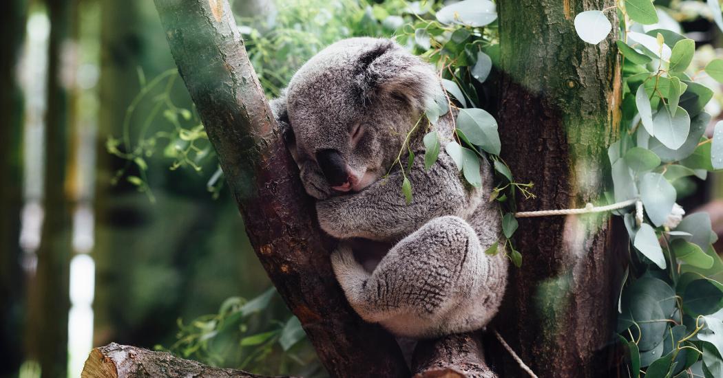 Crush of the day : le savon koala de Lush pour secourir la faune australienne